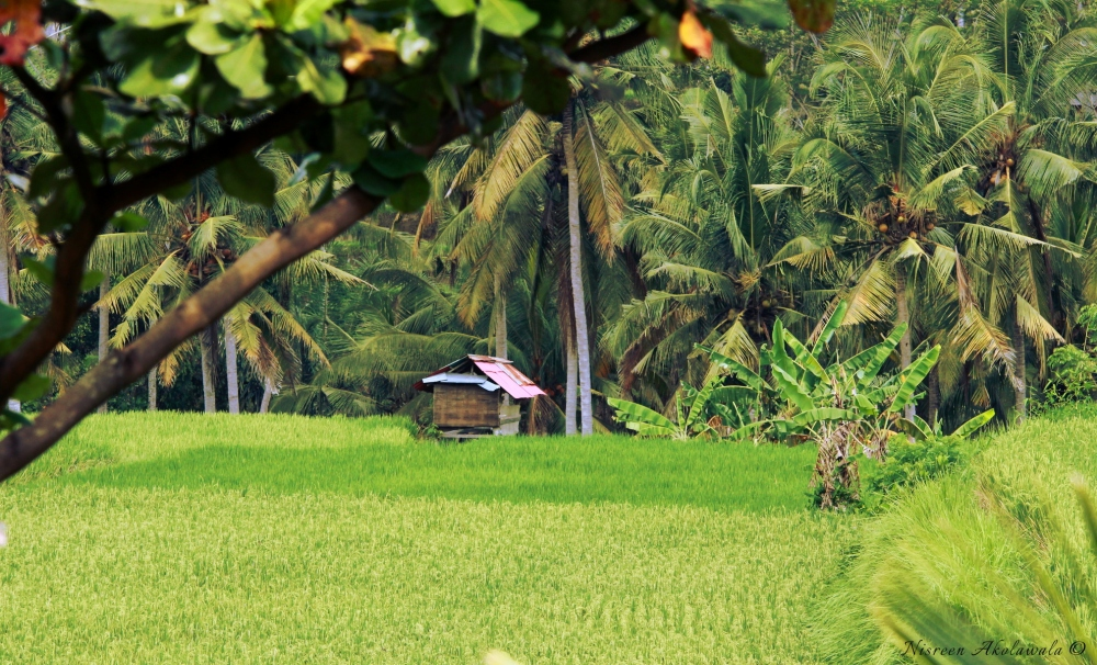 Rice fields Bali