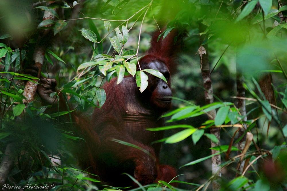 Orangutans in Semenggoh Malaysia