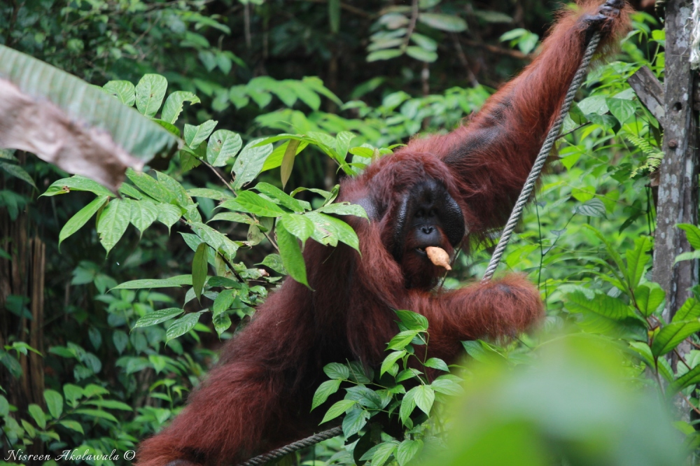 Male Orangutan with side flange