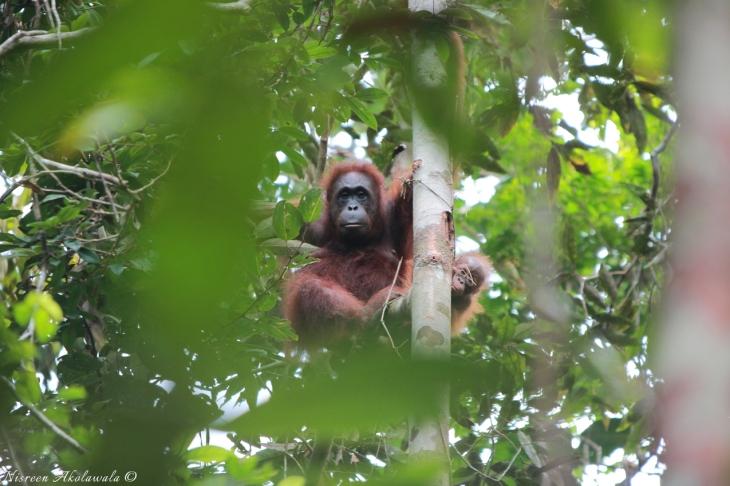Orangutan center in Semenggoh Malaysia