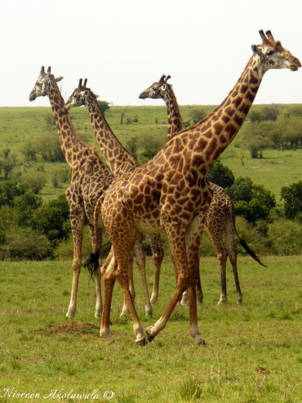 Giraffe family in Masai Mara