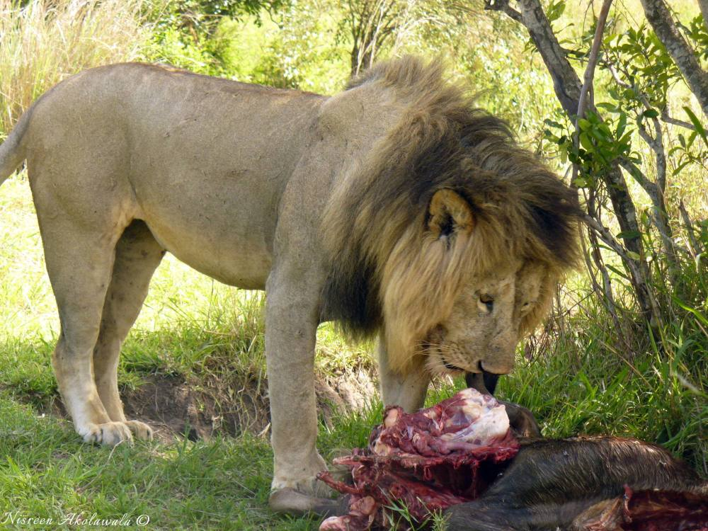 Lion eating its prey in Masai Mara
